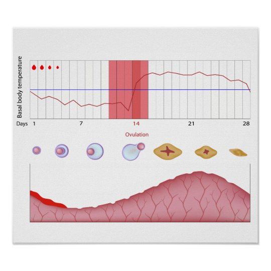 Female fertility chart Poster