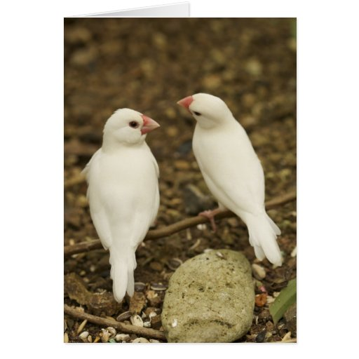 Female Finches Greeting Card