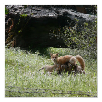 Female Fox & Pups Poster