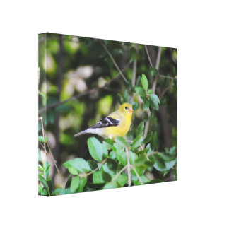 Female Goldfinch 2 Canvas Print