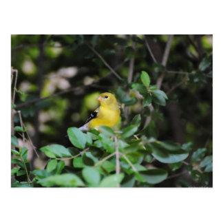 Female Goldfinch Postcard
