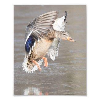 Female Hen Mallard Duck Landing In Winter On Ice Photo Print