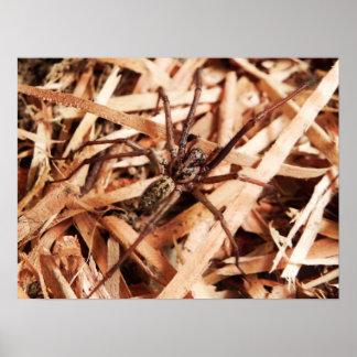 Female hobo spider poster