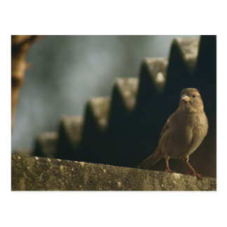 Female House Sparrow Post Cards