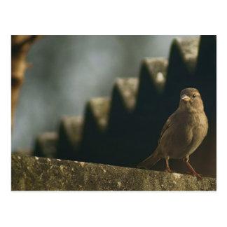 Female House Sparrow Postcard