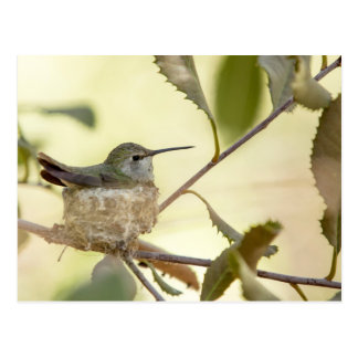 Female hummingbird on her nest postcard