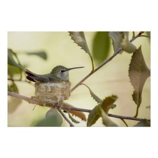Female hummingbird on her nest poster