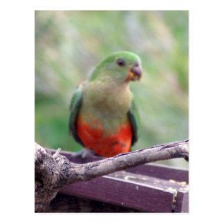 Female king parrot postcards