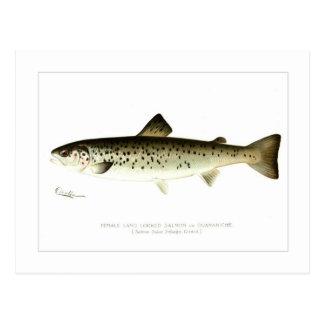 Female Land-locked Salmon or Quaniche Postcard