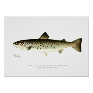 Female Land-locked Salmon or Quaniche Print