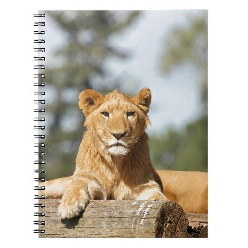 Female Lion Spiral Notebooks