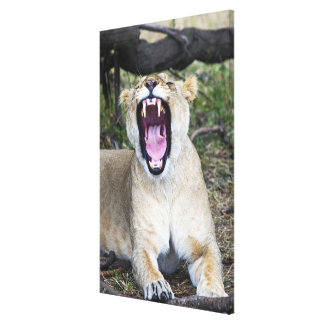 Female lion (Panthera leo), Masai Mara National 2 Canvas Print