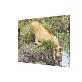 Female lion (Panthera leo), Masai Mara National Canvas Print