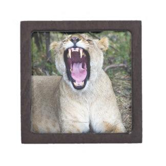 Female lion (Panthera leo), Masai Mara National Jewelry Box