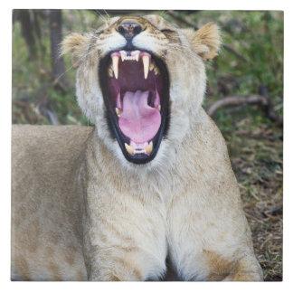 Female lion (Panthera leo), Masai Mara National Large Square Tile
