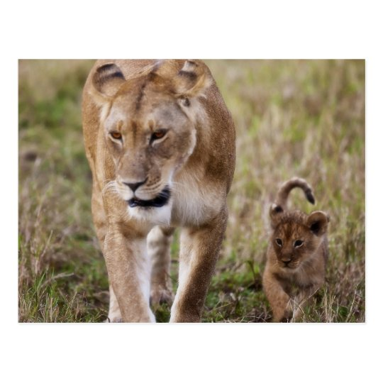 Female Lion with cub (Panthera Leo) as seen in Postcard