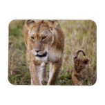 Female Lion with cub (Panthera Leo) as seen in Magnets