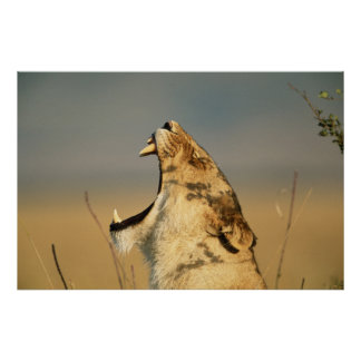 Female Lion yawning Poster