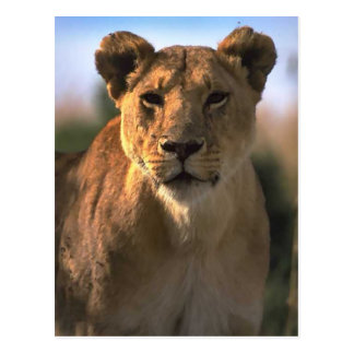 Female Lioness Lion Lovers Gifts Postcard