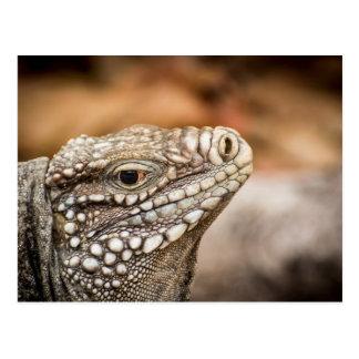 Female Little Cayman Rock Iguana Postcard