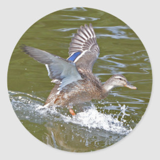 Female Mallard Coming In For Landing Classic Round Sticker