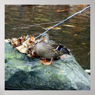 Female Mallard Duck 24X24 Poster