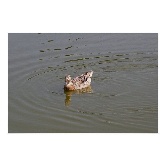 Female Mallard Duck 3 Poster