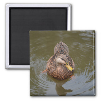 female mallard duck facing front 2 inch square magnet