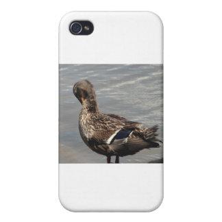 Female Mallard Duck iPhone 4/4S Cases