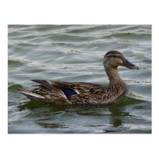 Female  Mallard Duck Postcard