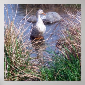 Female Mallard Duck Poster