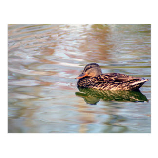 Female Mallard Reflected Postcard