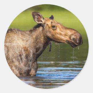 Female Moose Feeding In Small Lake Classic Round Sticker