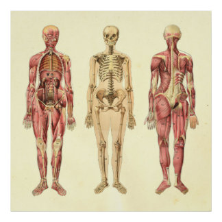 Female Muscle & Skeleton Anatomy Poster