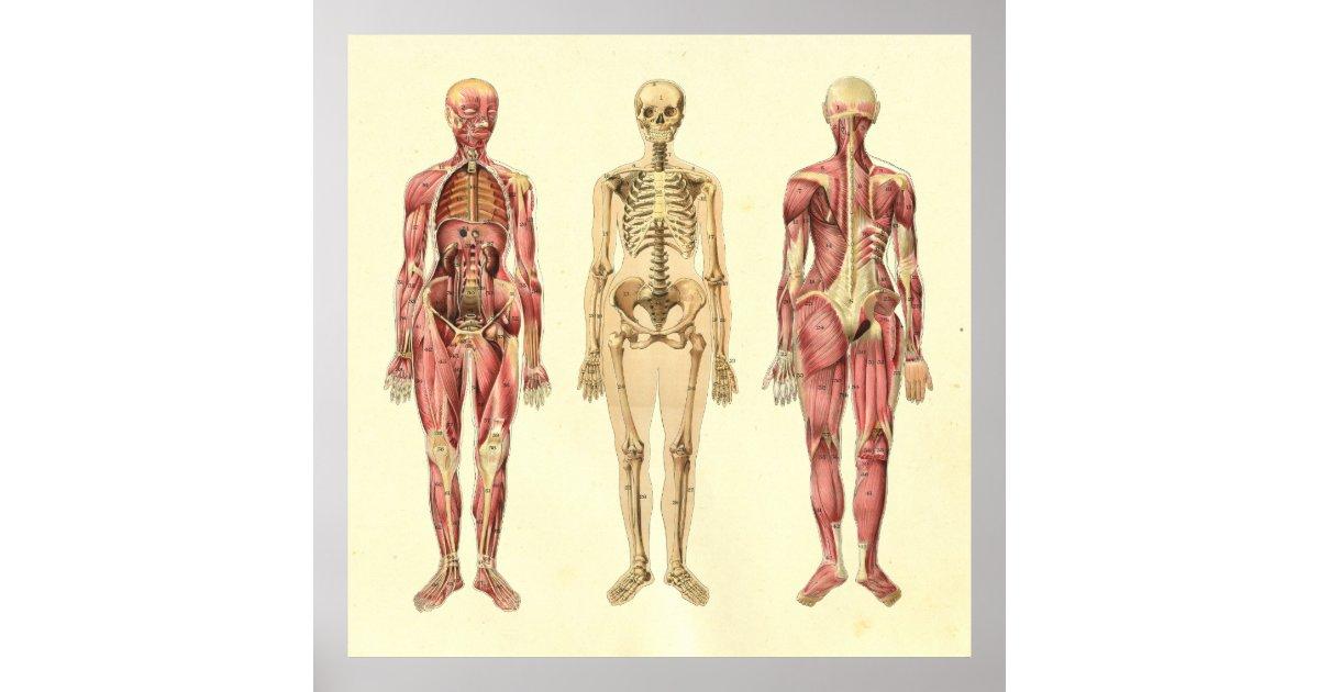 Female Muscle & Skeleton Anatomy Poster | Zazzle.com