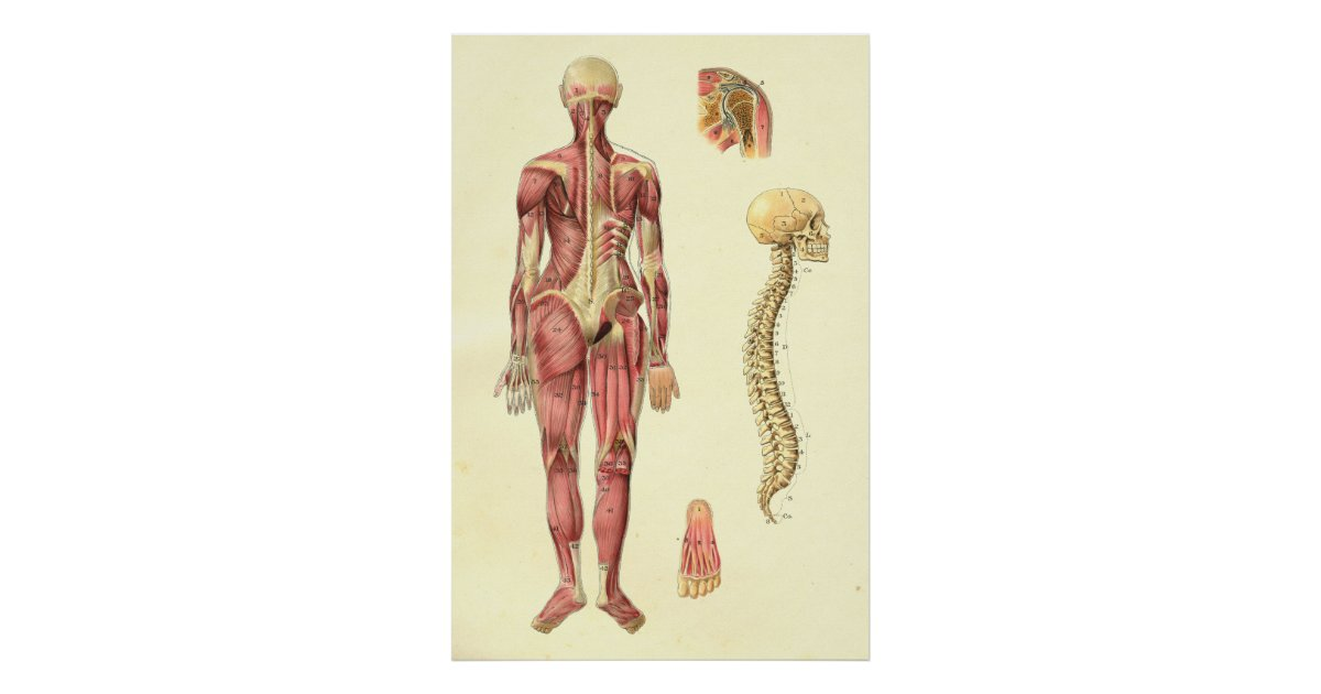 Female Muscle Spine Anatomy Poster Zazzle