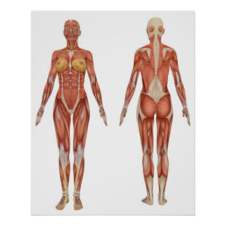 muscular anatomy posters | zazzle, Muscles