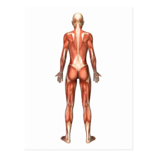 Female Muscular System, Back View Postcard
