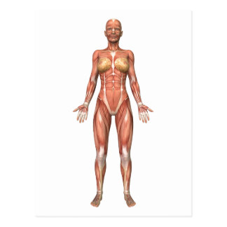 Female Muscular System, Front View Postcard