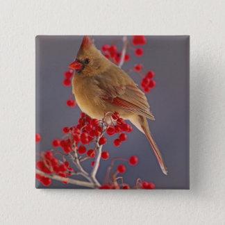 Female Northern Cardinal among hawthorn Button