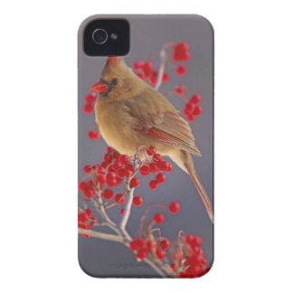 Female Northern Cardinal among hawthorn Case-Mate iPhone 4 Case