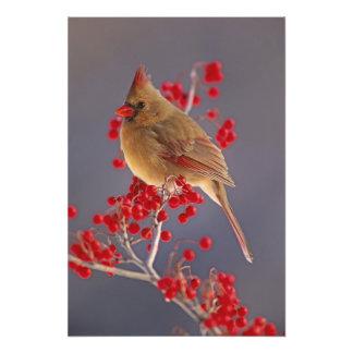 Female Northern Cardinal among hawthorn Photo Print