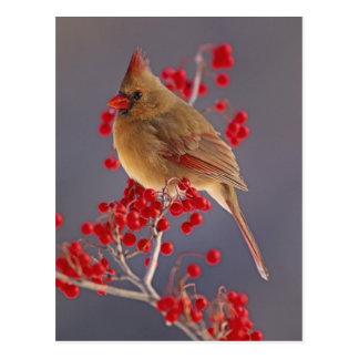 Female Northern Cardinal among hawthorn Postcard