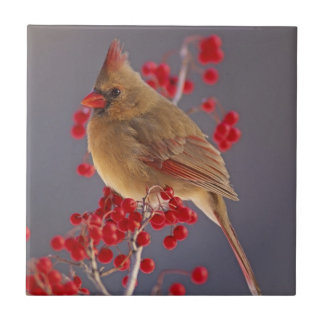 Female Northern Cardinal among hawthorn Tile