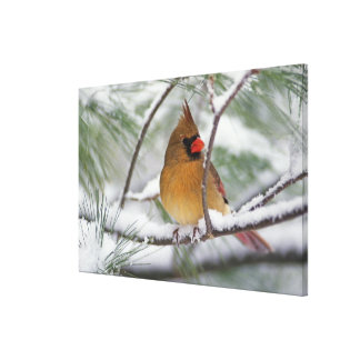Female Northern Cardinal in snowy pine tree, Canvas Print