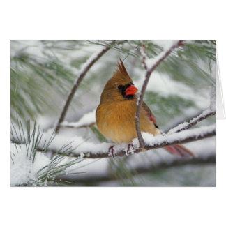 Female Northern Cardinal in snowy pine tree, Card