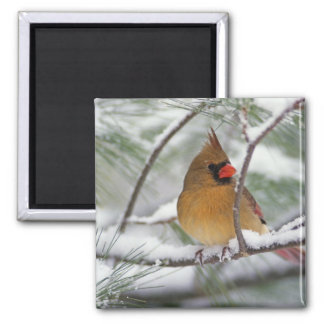 Female Northern Cardinal in snowy pine tree, Magnet