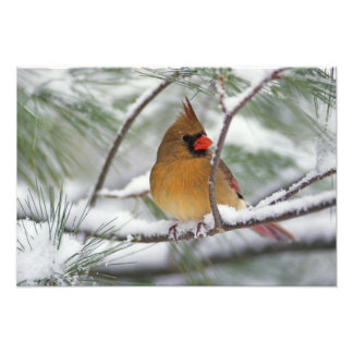Female Northern Cardinal in snowy pine tree, Photo Print