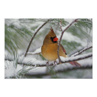 Female Northern Cardinal in snowy pine tree, Poster
