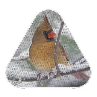 Female Northern Cardinal in snowy pine tree, Speaker